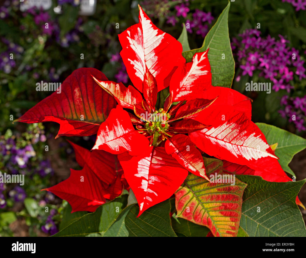 Spectacular And Unusual Vivid Red Bracts Splashed With White Of