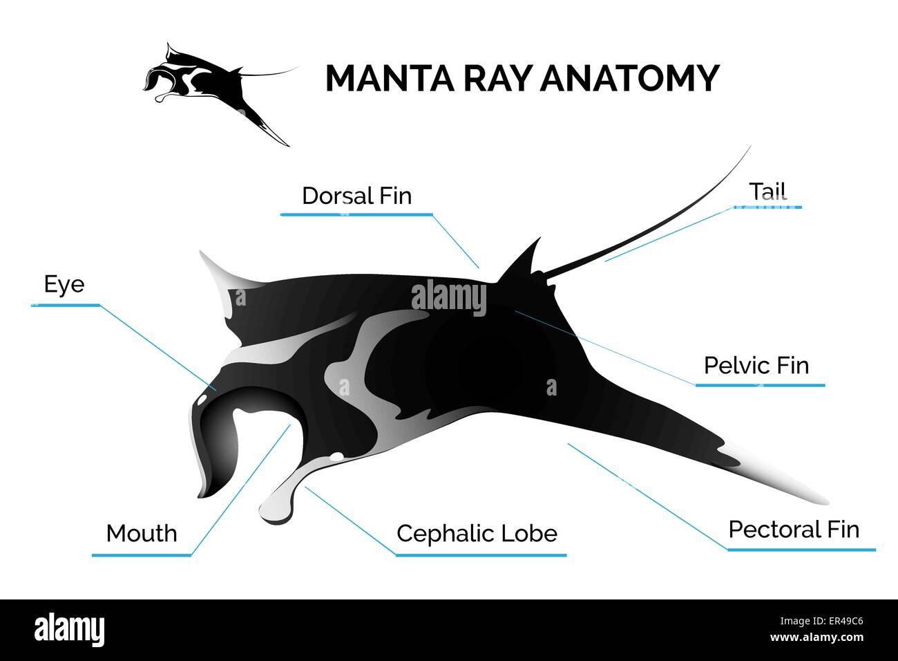 Manta Ray Diagram Wiring Nissan Vq20de Face Diagrammanta Diagrams Clickmanta Anatomy Stock Vector Art