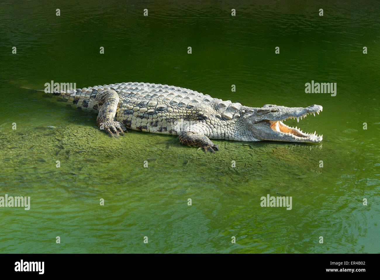 Alligator Mississipiensis wide open mouth - Stock Image