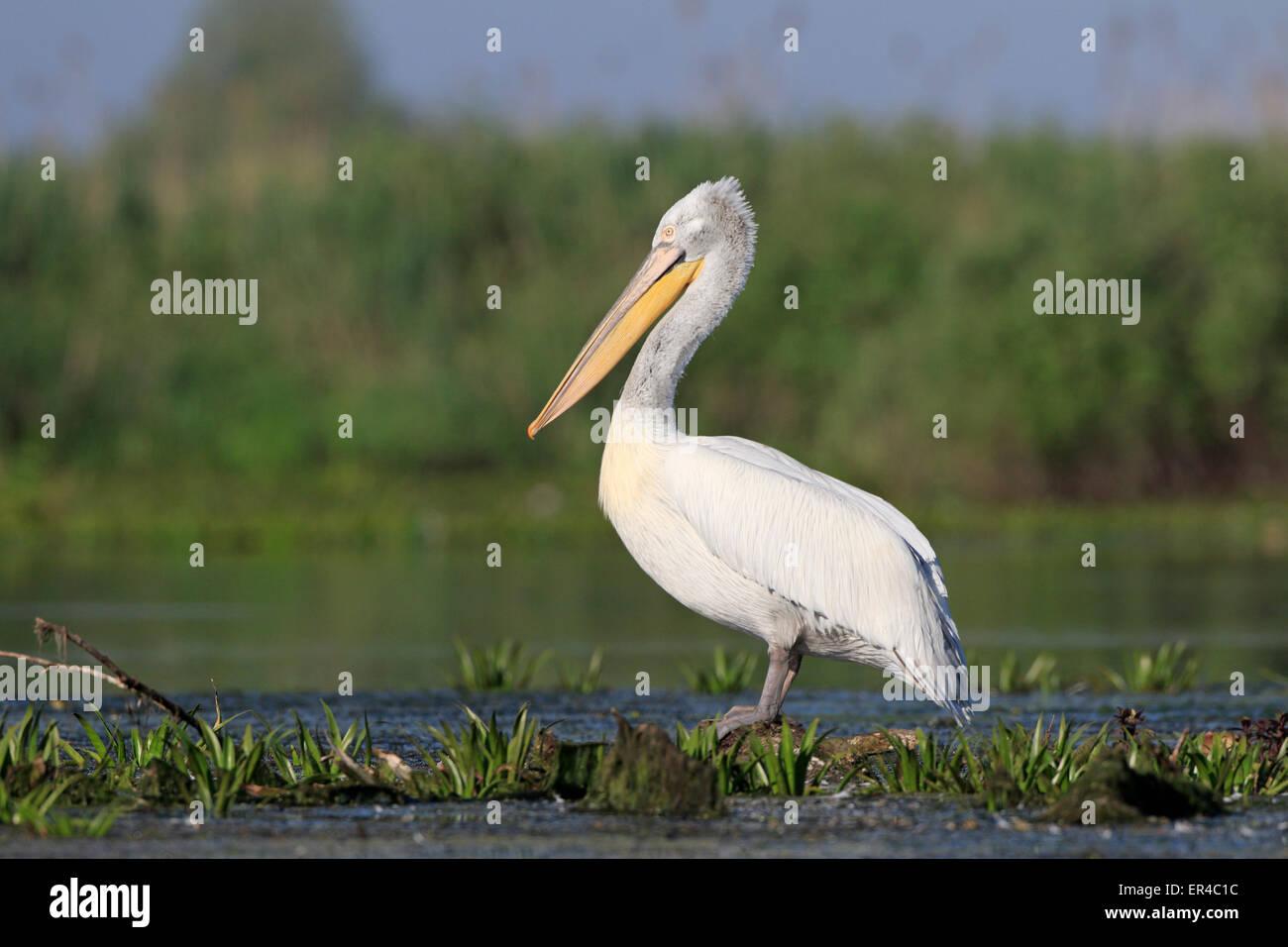 Dalmatian Pelican in the Danube Delta - Stock Image