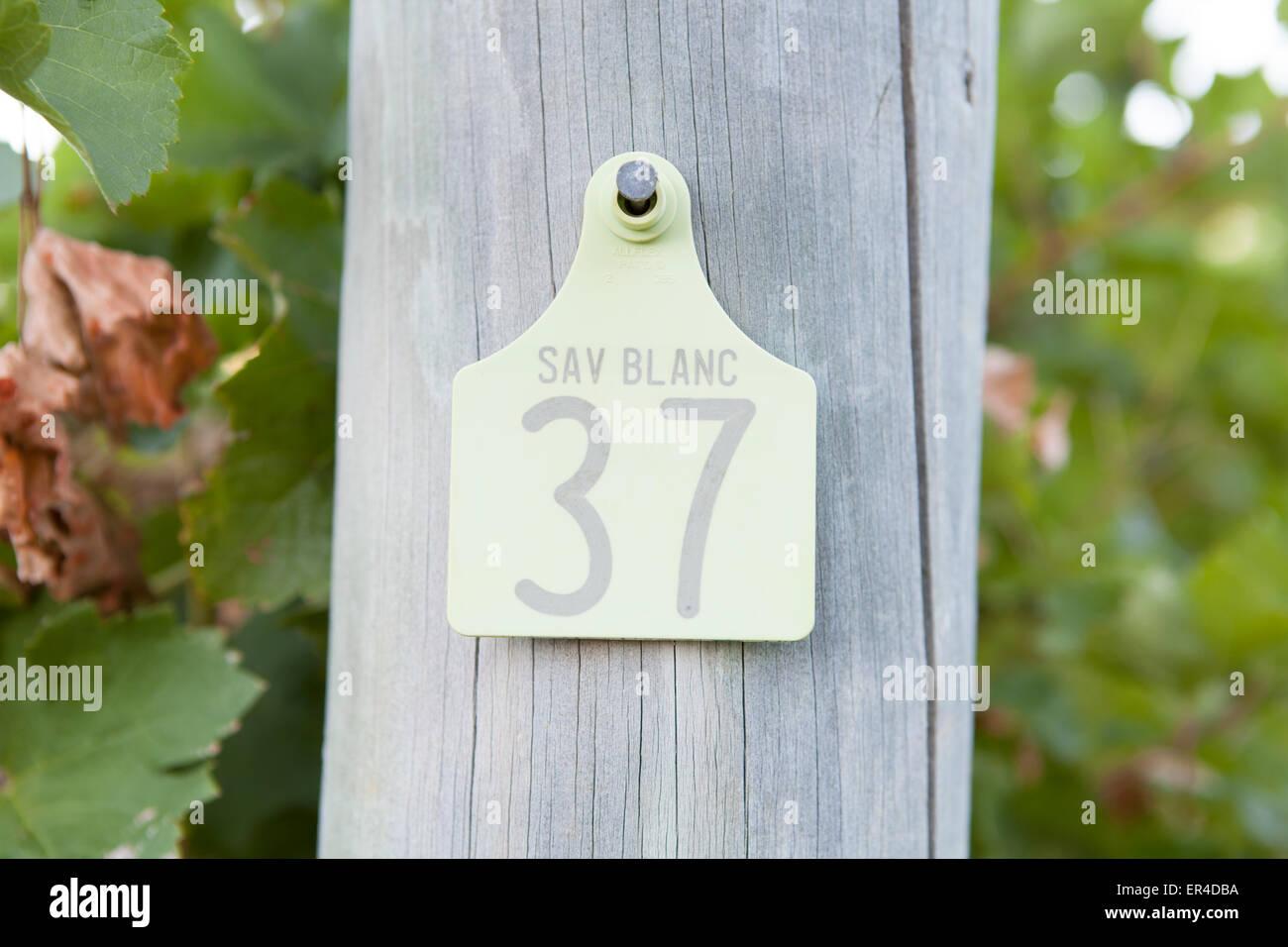 sauvignon blanc tagged vines in the Cape Lodge resort vineyard Stock Photo