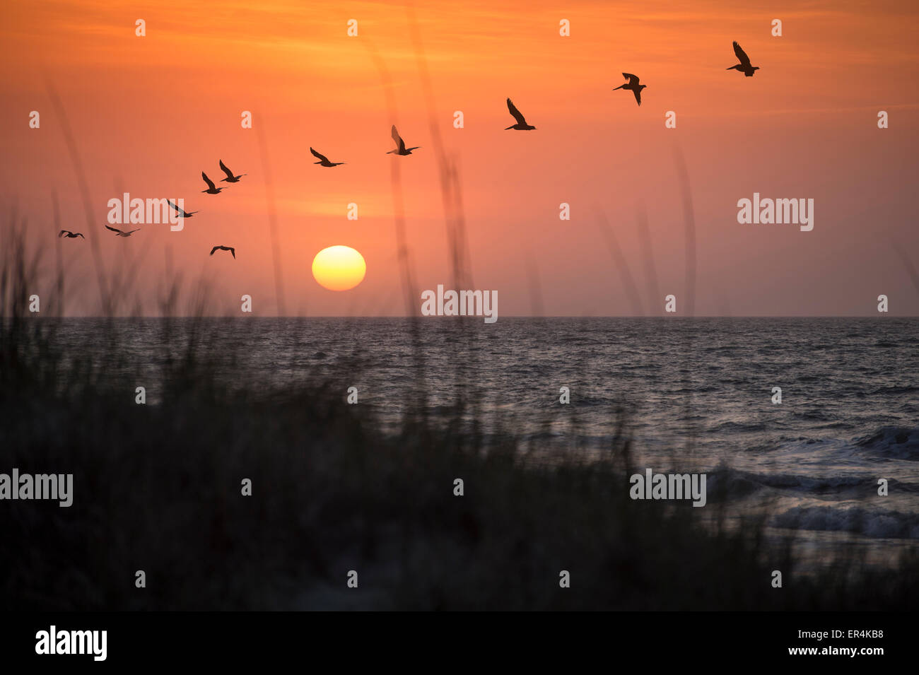 Pelicans At Sunrise With Sand Dune Grass Ocean Landscape - Stock Image