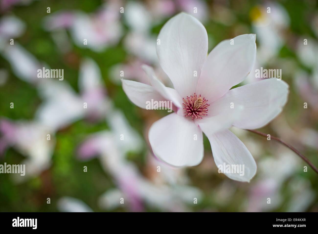 Flower On Magnolia Tree Stock Photo