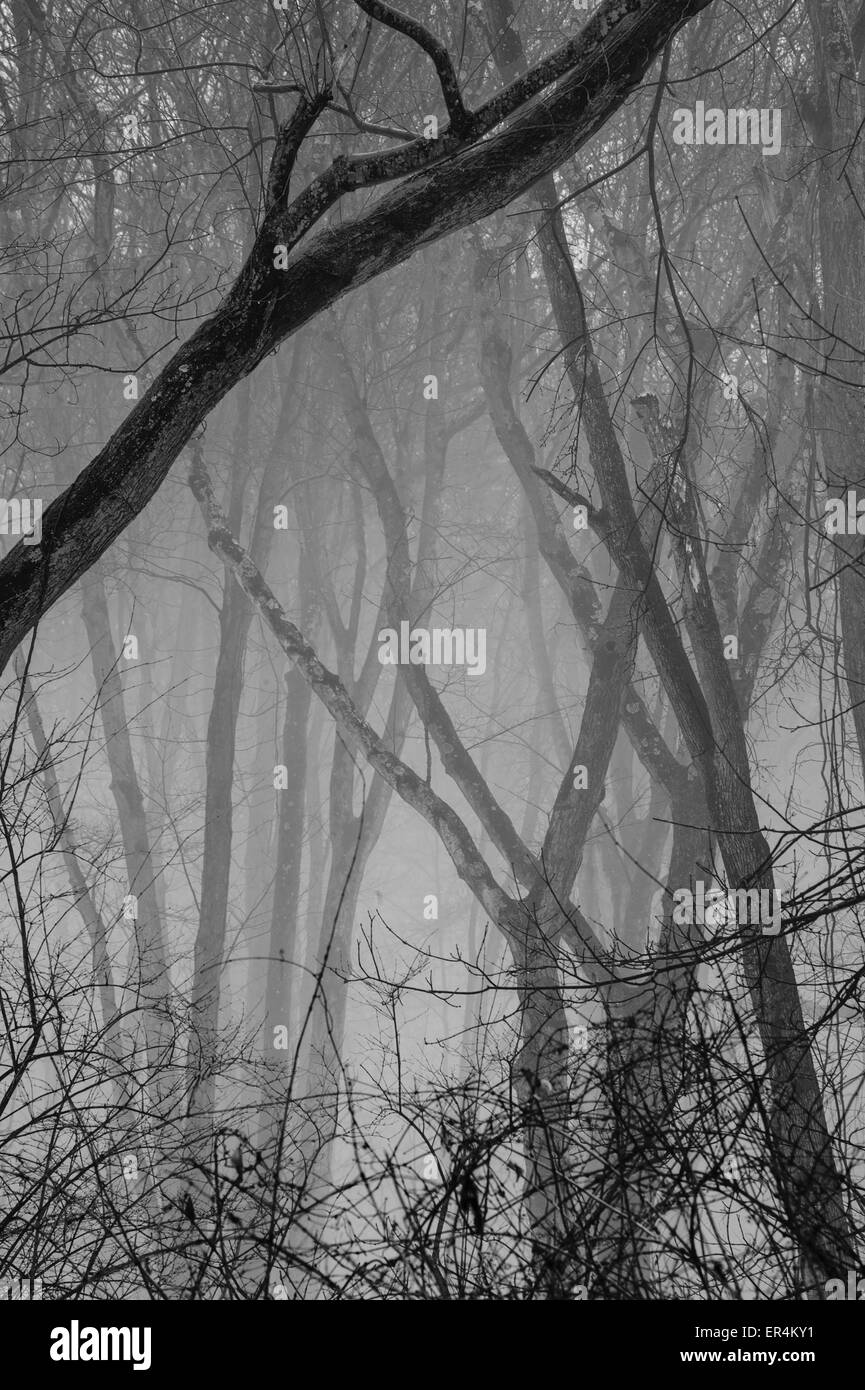 Trees In Fog - Stock Image