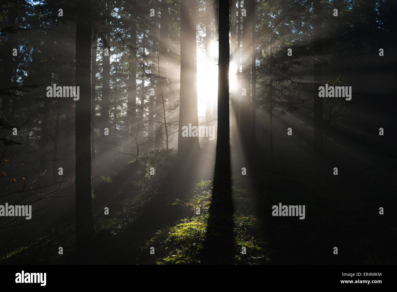 rays of sunshine falling through a foggy and dark forest of spruces - Stock Image