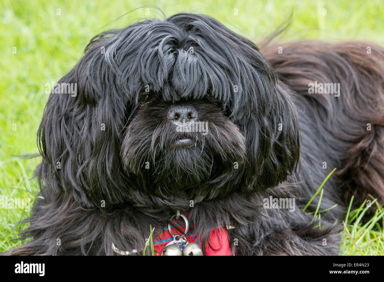 Dog at The Festival Of Country Life, Lamporthall, Lamport, Northamptonshire - Stock Image