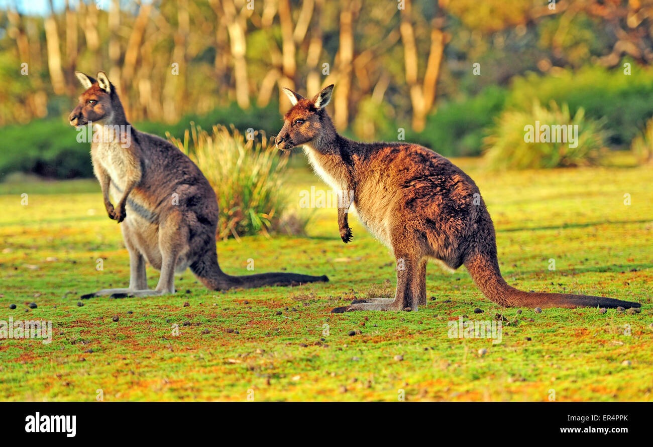 Kangaroos on Kangaroo Island Stock Photo