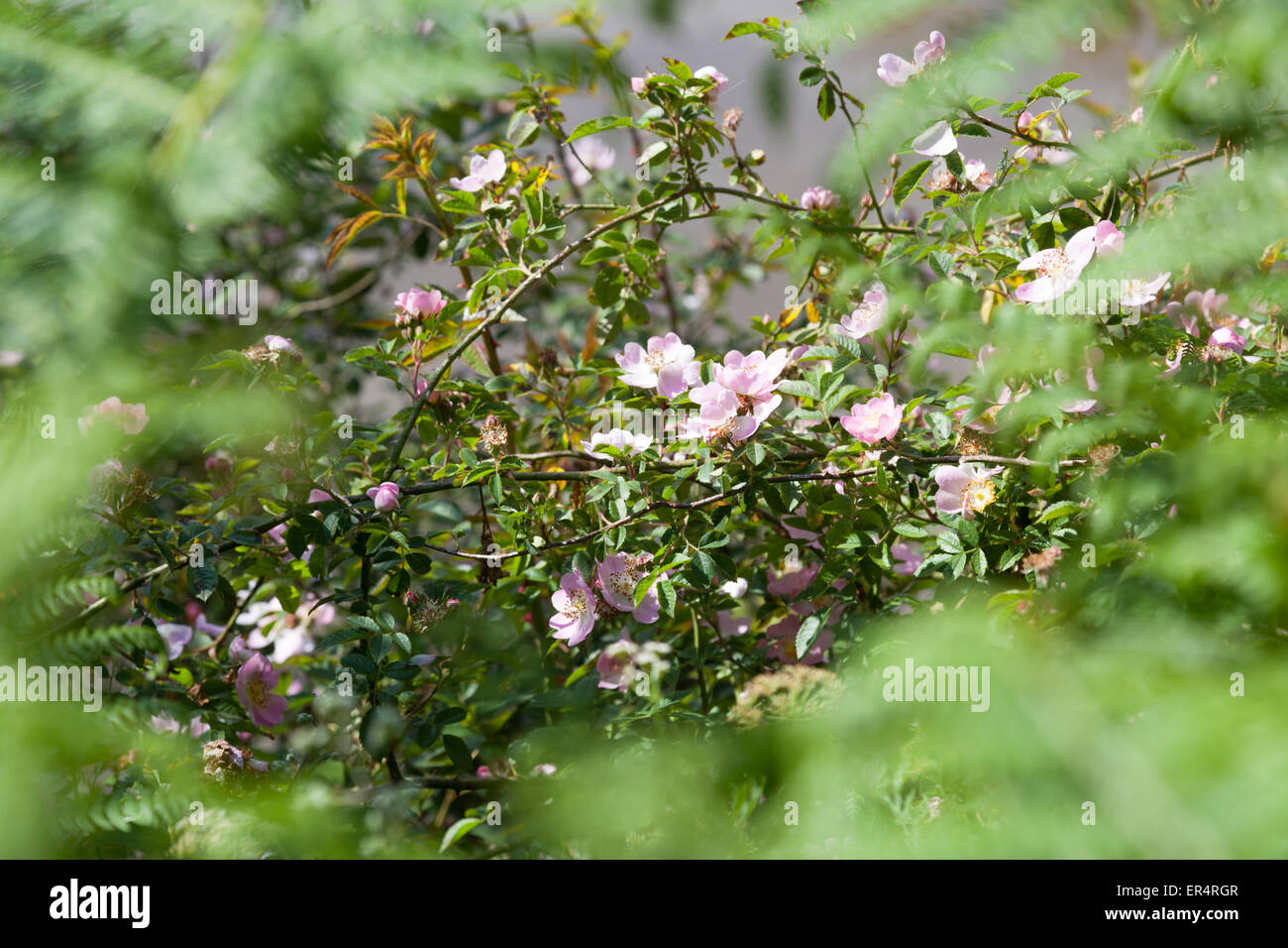 A close-up shot on branches of a blossoming dog-rose (Rosa canina), alongside the Boudigau river (Landes - France). - Stock Image