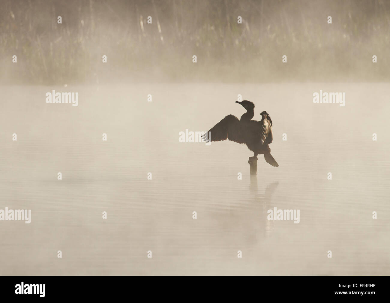 Adult Great Cormorant (Phalacrocorax carbo) perched on a stump in middle of a misty lake - Stock Image