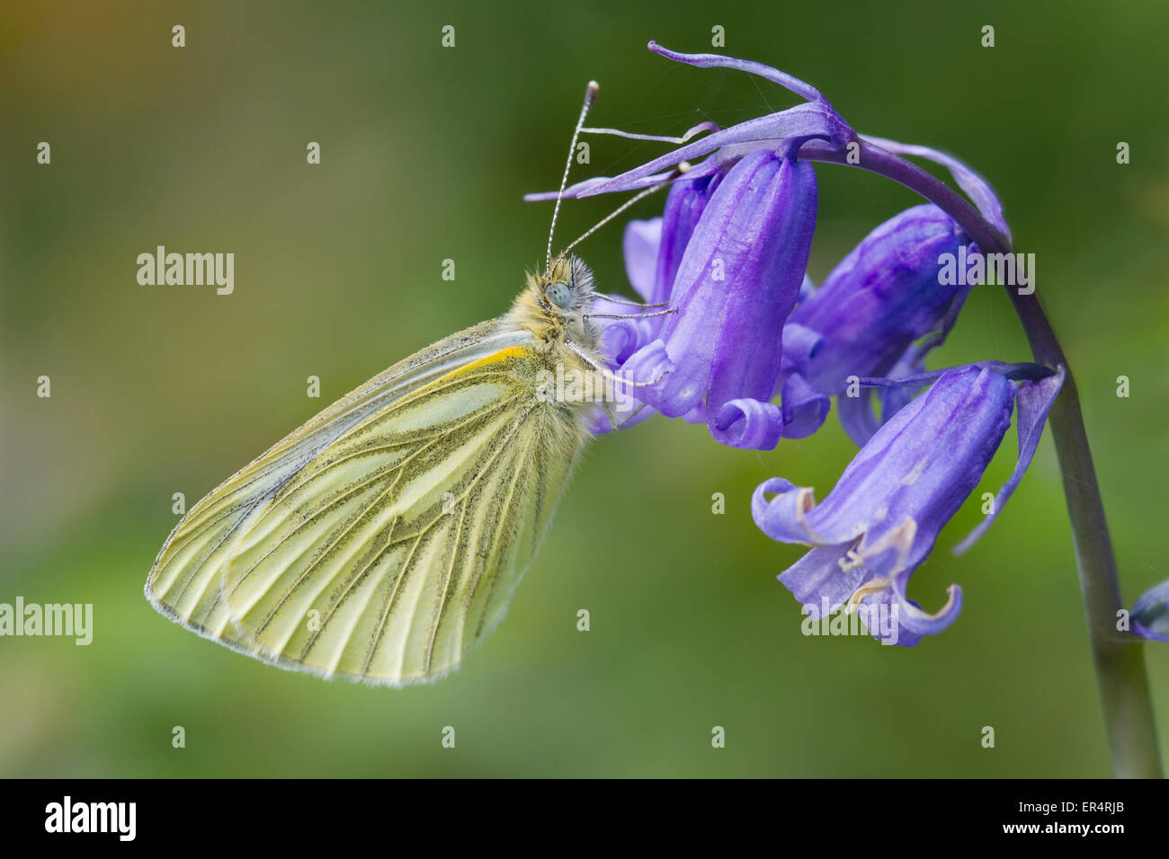 Green-veined White butterfly (Pieris napi) settled on a bluebell - Stock Image
