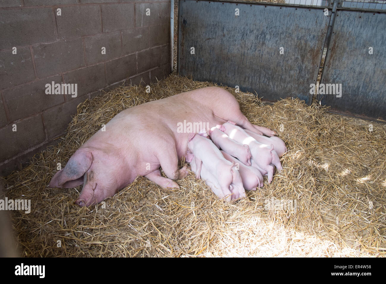 Piglets feeding from a sow in a pen in Sandwell Birmingham - Stock Image