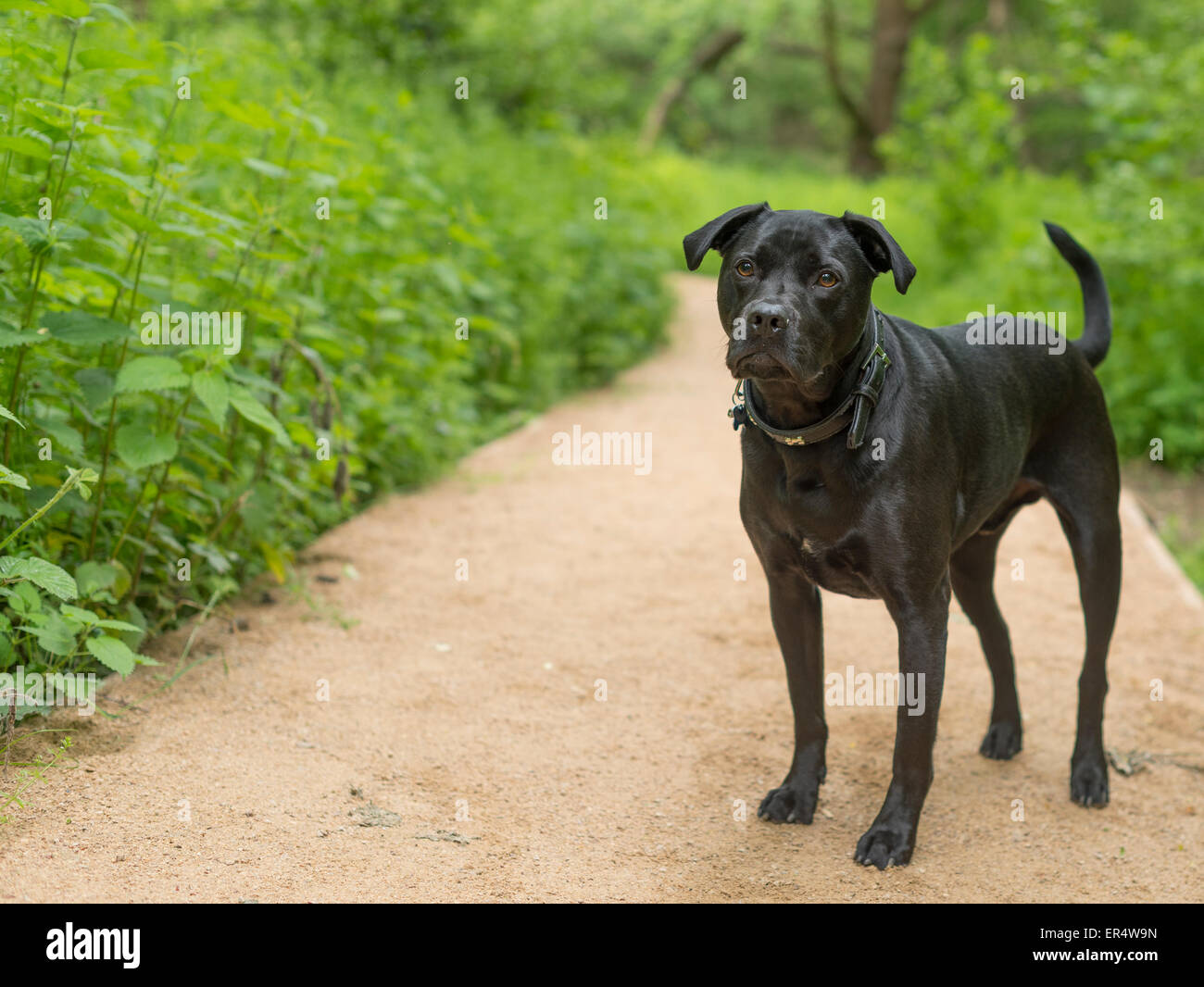 Black dog wondering in the woods. - Stock Image