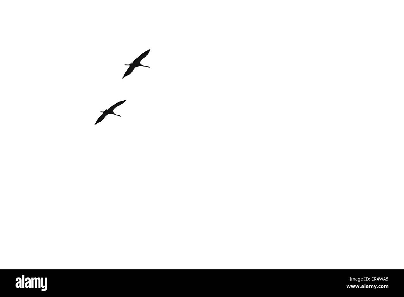 Pair of migratory birds flying in the sky - Stock Image