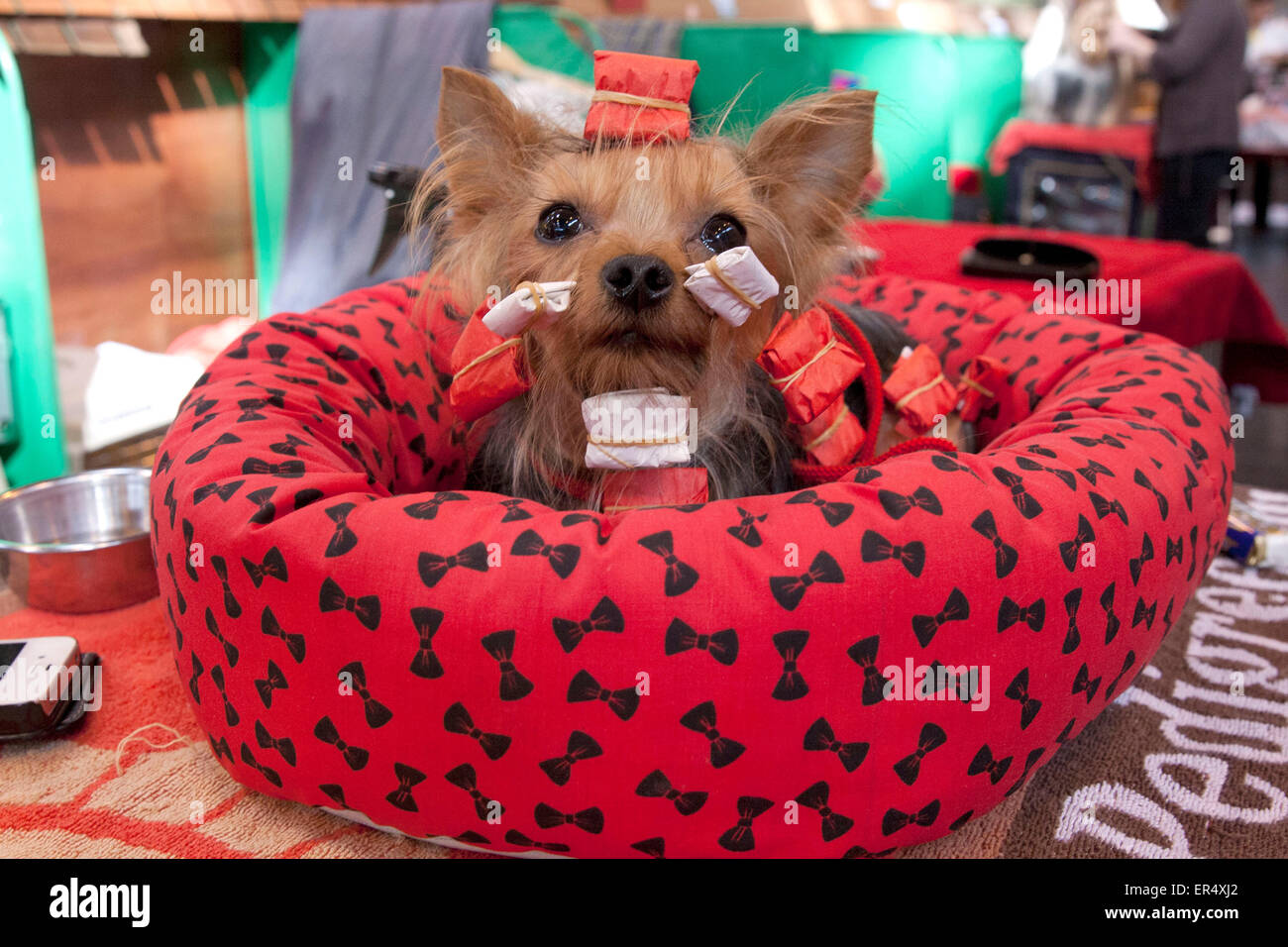 Cute Toy Yorkshire Terrier waiting with hair in packages. Crufts 2014 at the NEC in Birmingham, UK. 8th March 2014 - Stock Image