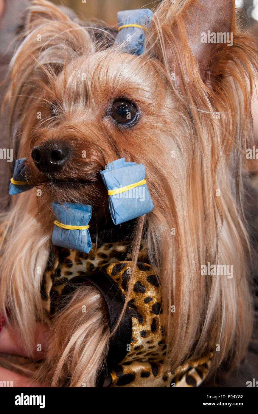 Waiting in curlers. Yorkshire terrier.  Crufts 2014 at the NEC in Birmingham, UK. 8th March 2014 - Stock Image