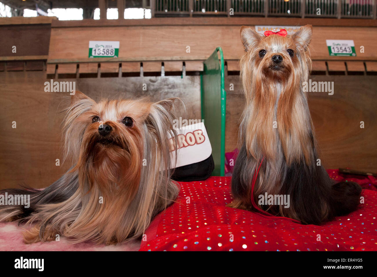 Two toy Yorkshire terriers. Crufts 2014 at the NEC in Birmingham, UK. 8th March 2014 - Stock Image