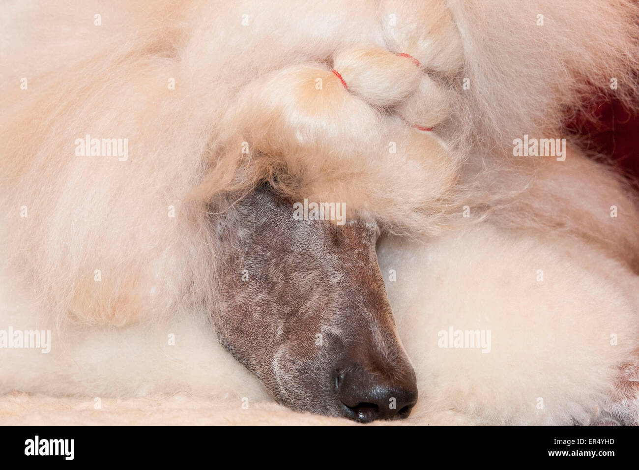 Sleeping poodle. Crufts 2014 at the NEC in Birmingham, UK. 8th March 2014 - Stock Image