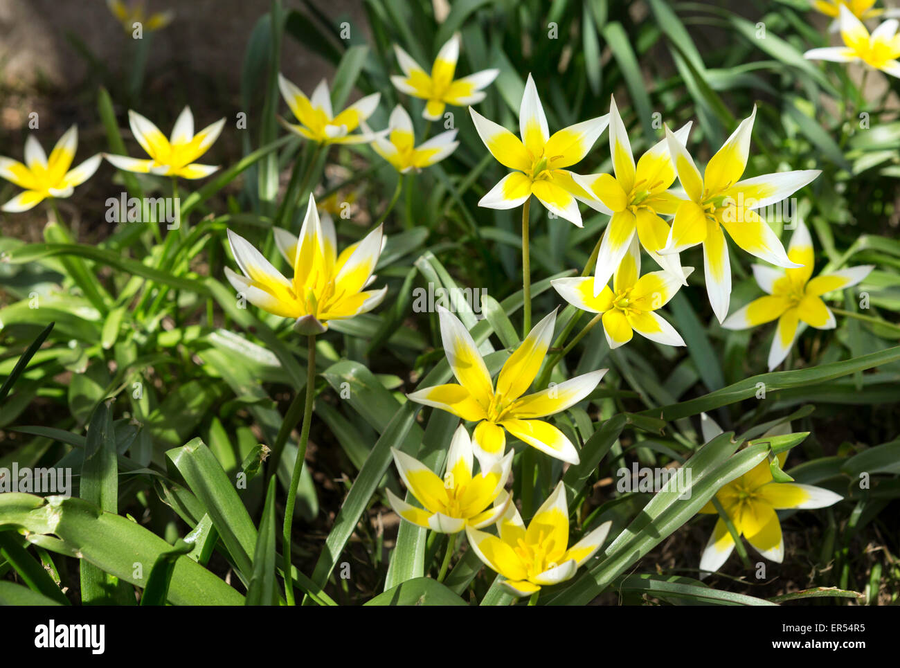 Yellow Lilies in Sakura Park, Manhattan, New York. - Stock Image