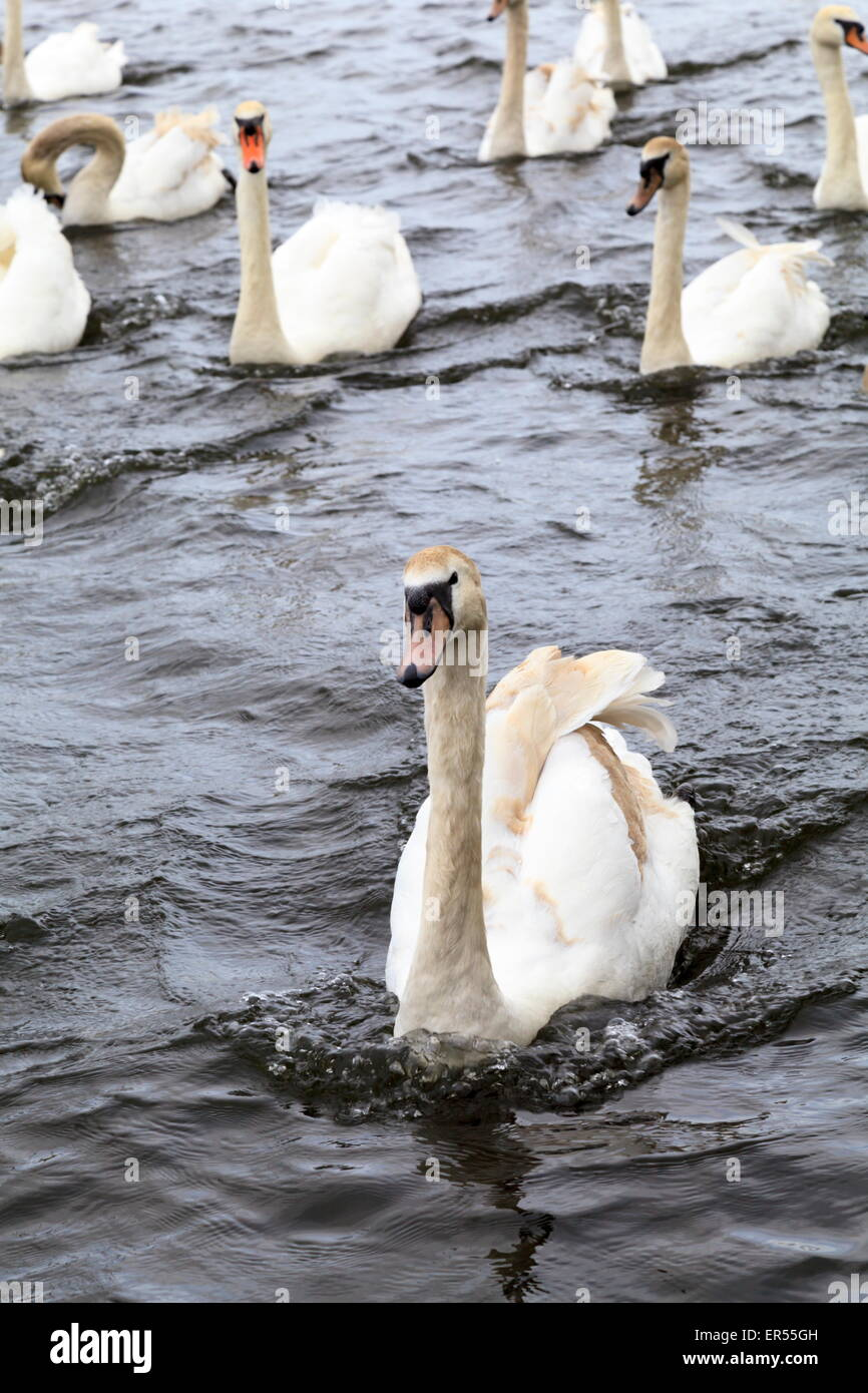 Mute Swans swimming on the Sankey Canal, Widnes - Stock Image