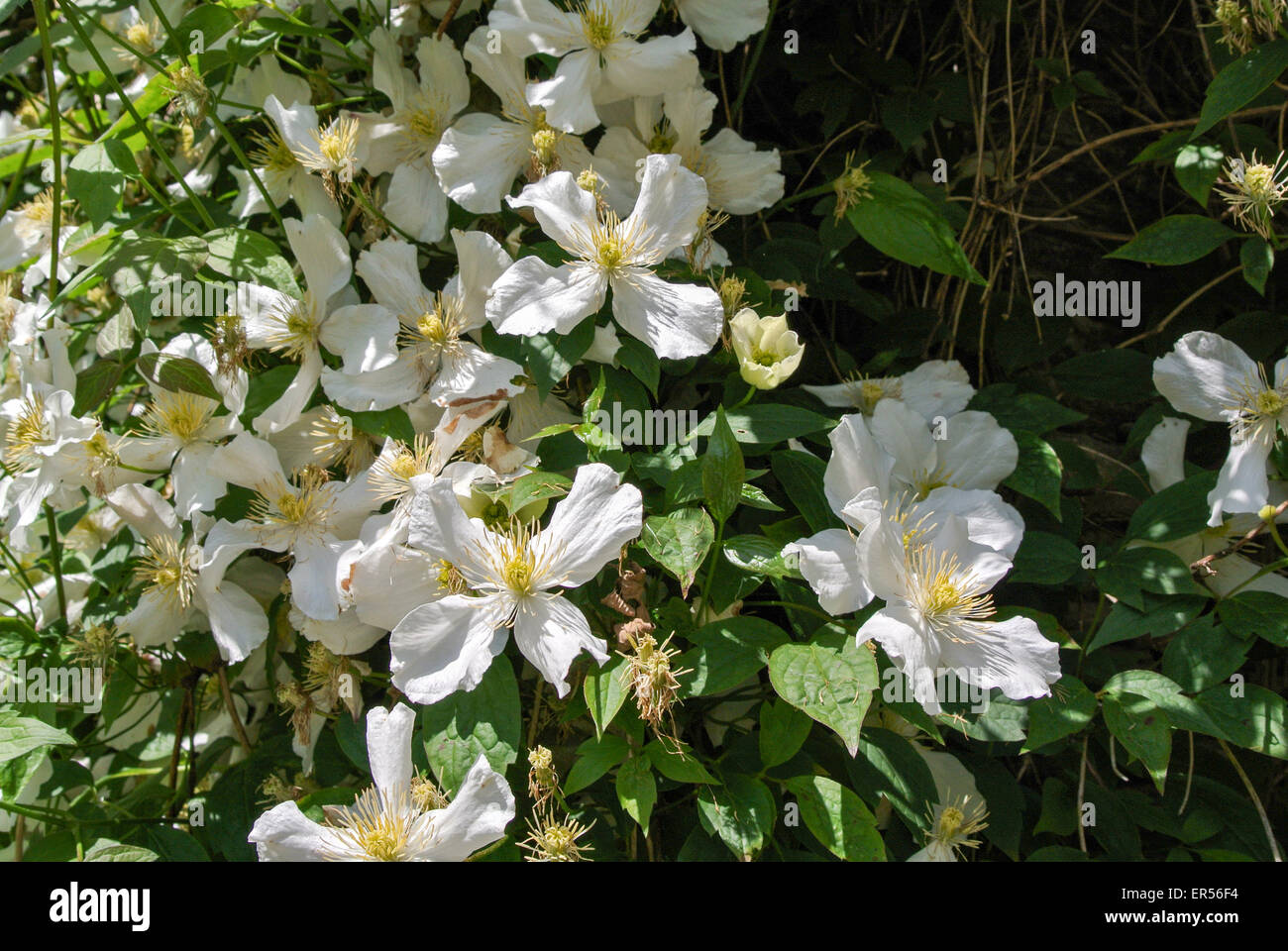 white clematis - Stock Image