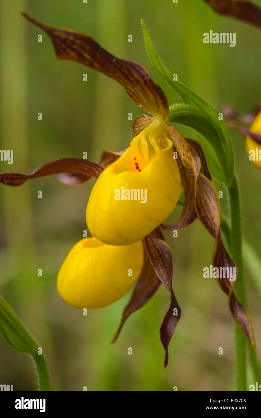 A pair of yellow lady slipper orchids, Cypripedium calceolus, growing in the Wagner Bog Natural Area, Alberta. - Stock Image
