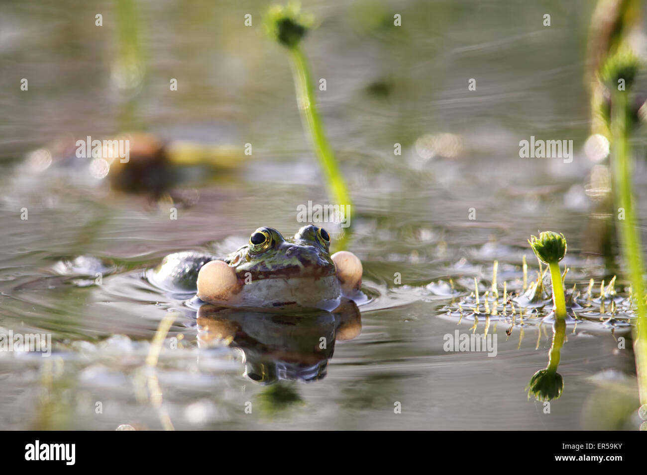 Edible frog (Pelophylax esculentus) croaking in a pond in Frankfurt, Germany in spring. - Stock Image