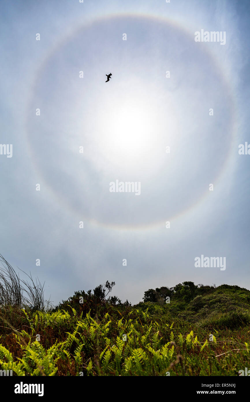 Halo with gull flying above the dunes, Langeoog Island, North Sea, East Frisian Islands, East Frisia, Lower Saxony, - Stock Image