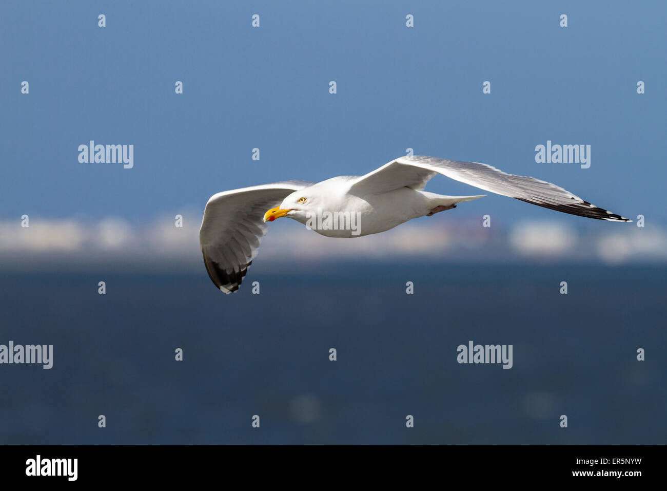 Herring gull in flight, Larus argentatus, North Sea, Germany - Stock Image
