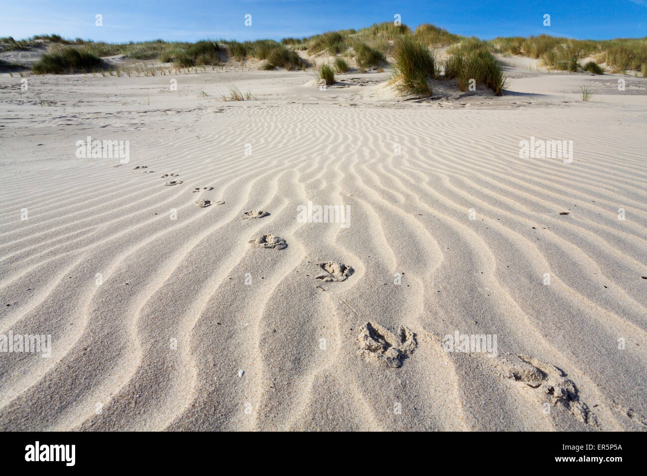 Bbird tracks in the sand, dunes, Juist Island, North Sea, East Frisian Islands, East Frisia, Lower Saxony, Germany, Stock Photo
