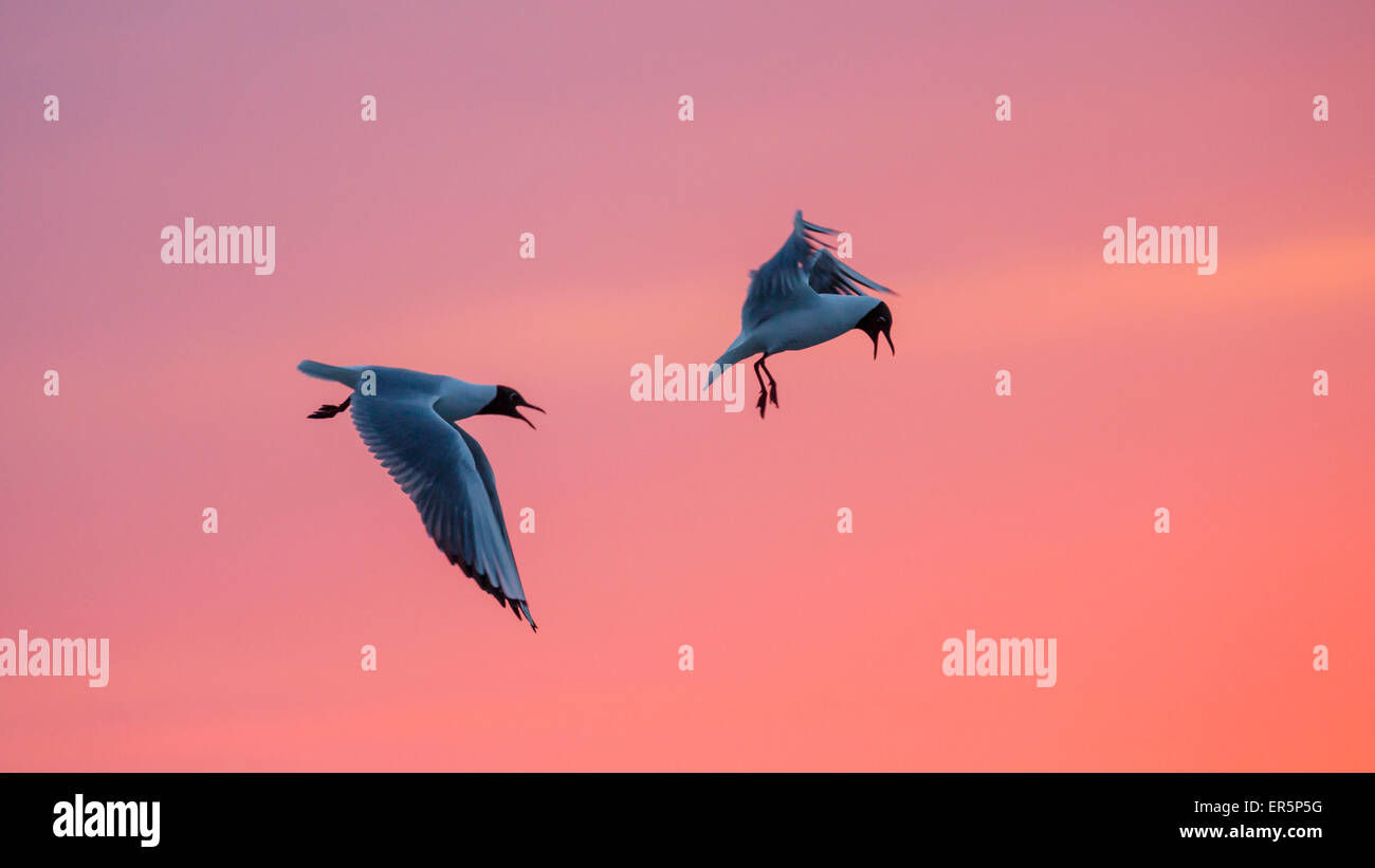Black-headed Gulls at sunset, Larus ridibundus, Nationalpark, North Sea, East Frisian Islands, East Frisia, Lower - Stock Image
