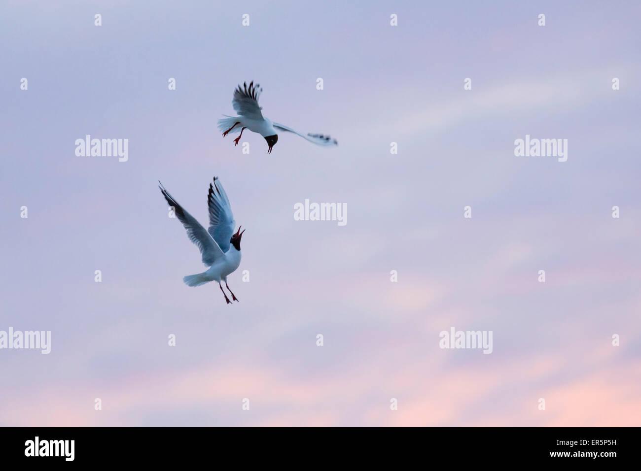 Black-headed Gulls fighting at sunset, Larus ridibundus, Nationalpark, North Sea, East Frisian Islands, East Frisia, - Stock Image
