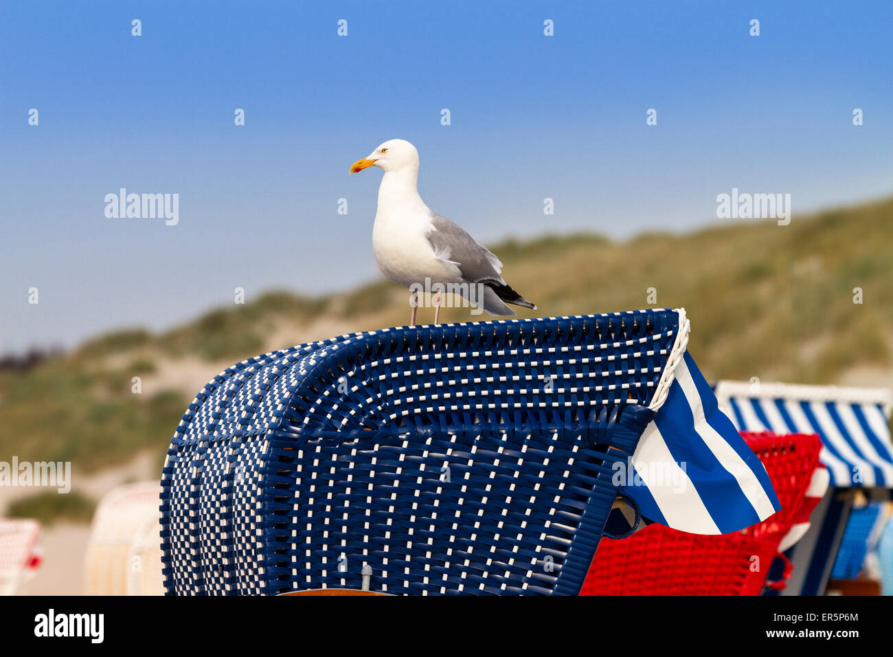 Herring Gull, Larus argentatus, North Sea, Germany, Europe Stock Photo