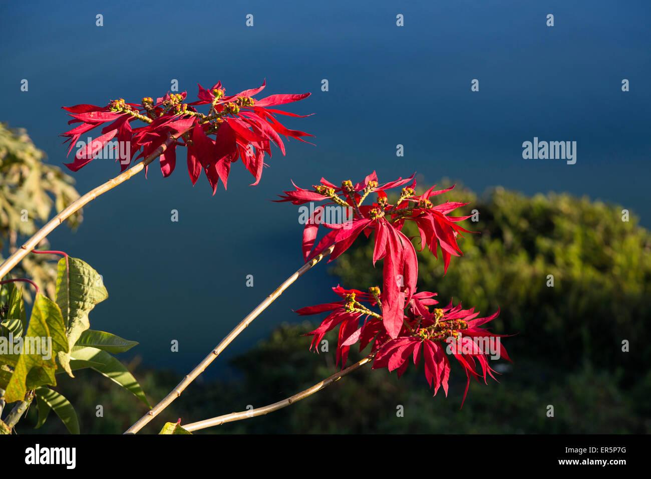 Poinsettia, Mexican Flame Tree, Euphorbia pulcherrima, Lake Itasy, Ampefy, Madagascar, Africa - Stock Image