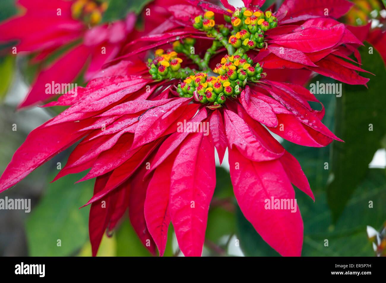 Poinsettia, Mexican Flame Tree, Euphorbia pulcherrima, Madagascar, Africa - Stock Image