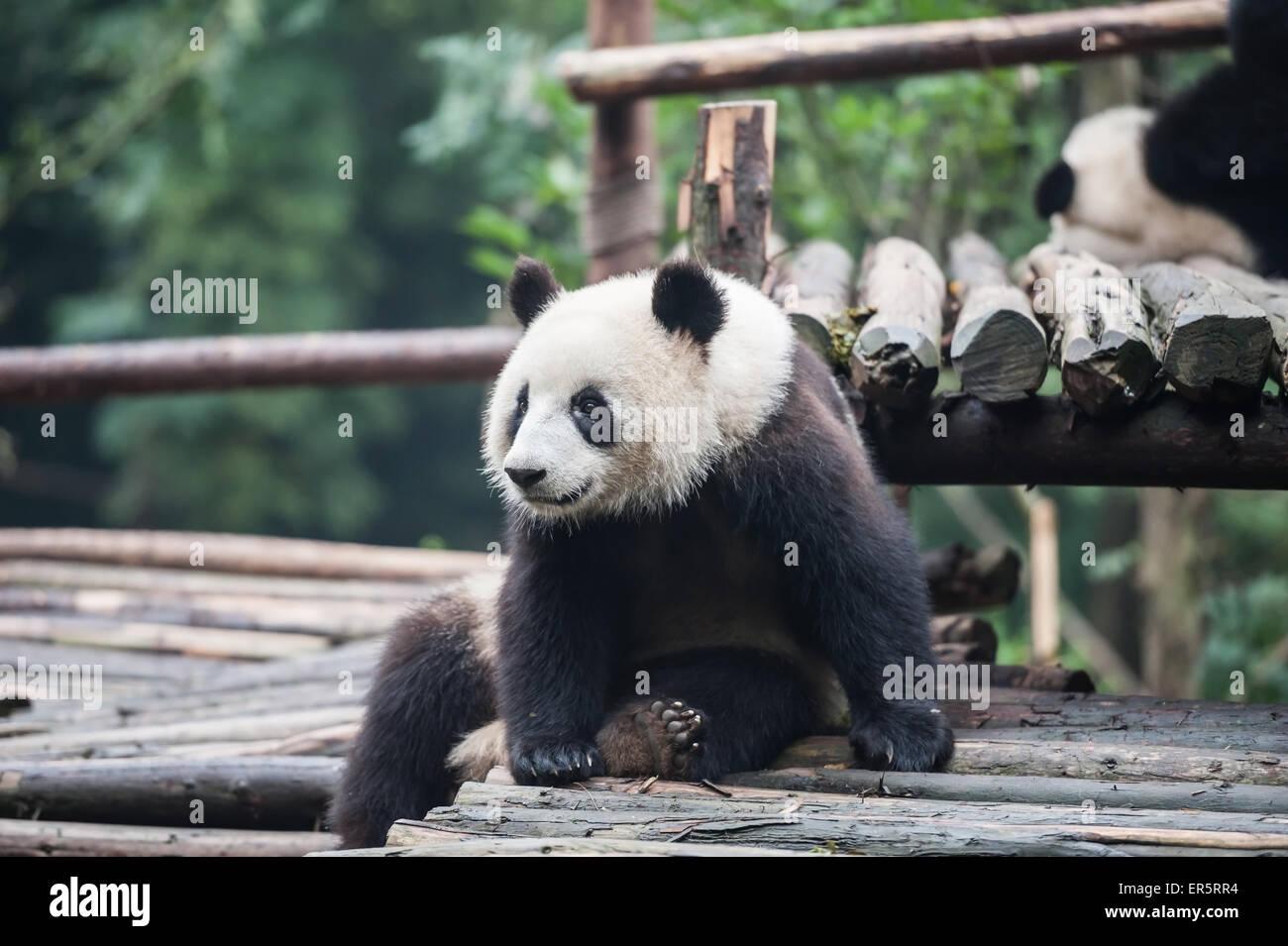Panda in the jungle - Stock Image