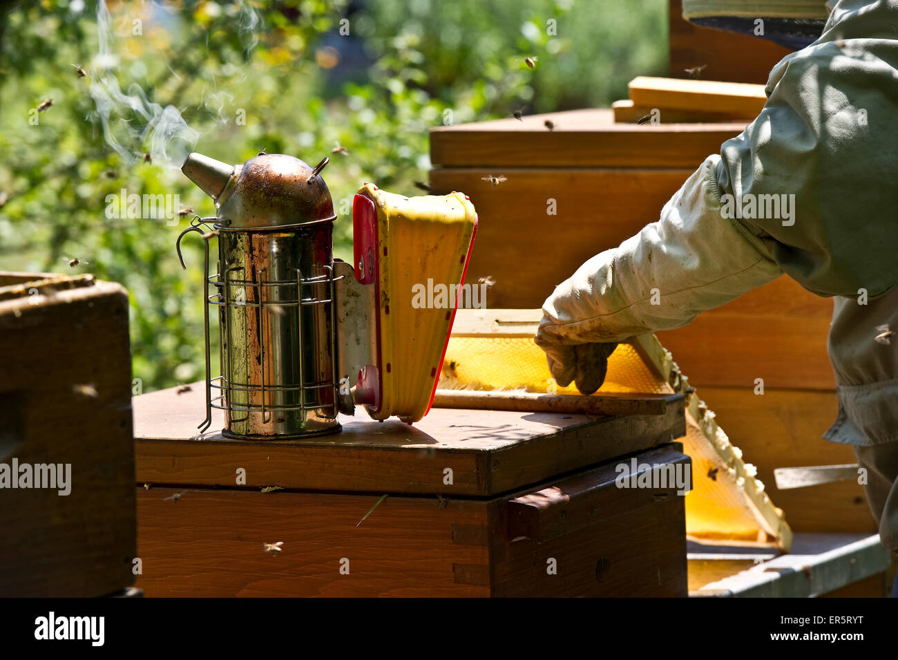 Beekeeper with smoker at wooden beehives, Freiburg im Breisgau, Black Forest, Baden-Wuerttemberg, Germany - Stock Image