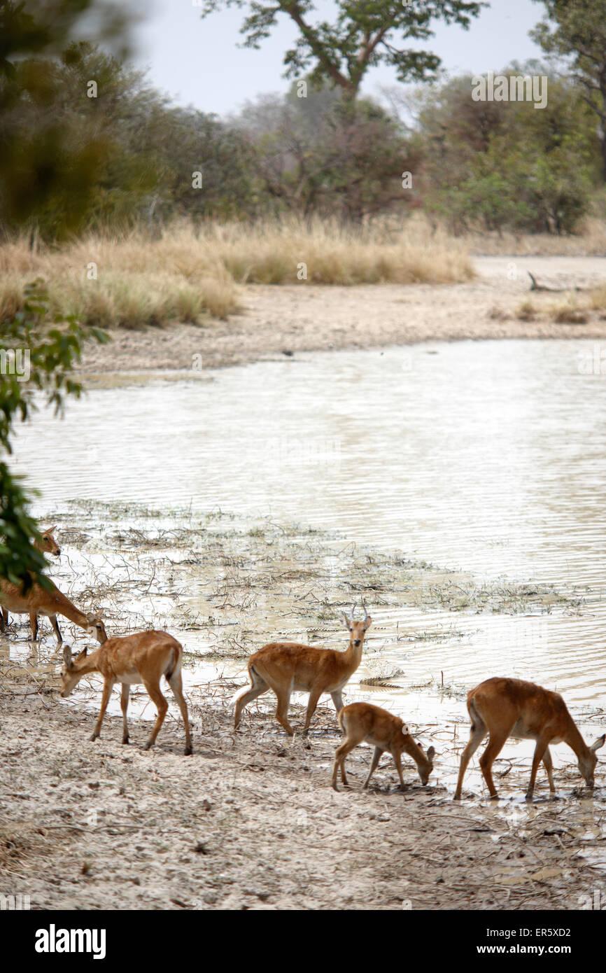 Antelopes at Mar Diwouini water hole, Penjari National Park, Benin - Stock Image