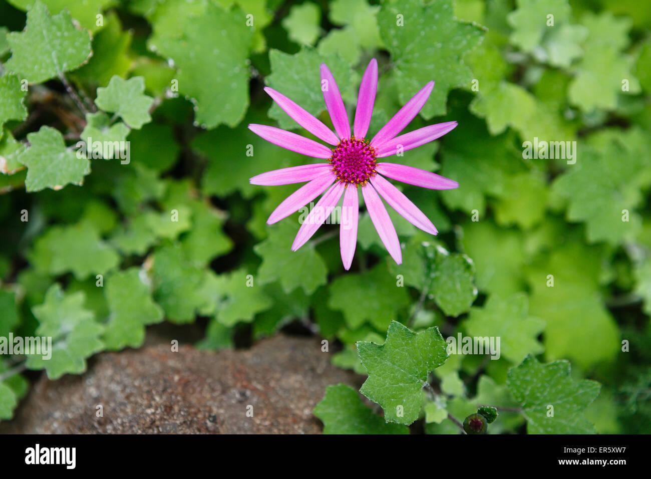 lat. Asteraceae, aster flower, Barranco de Masca, Masca canyon, Parque rural de Teno, natural preserve, Teno mountains, - Stock Image