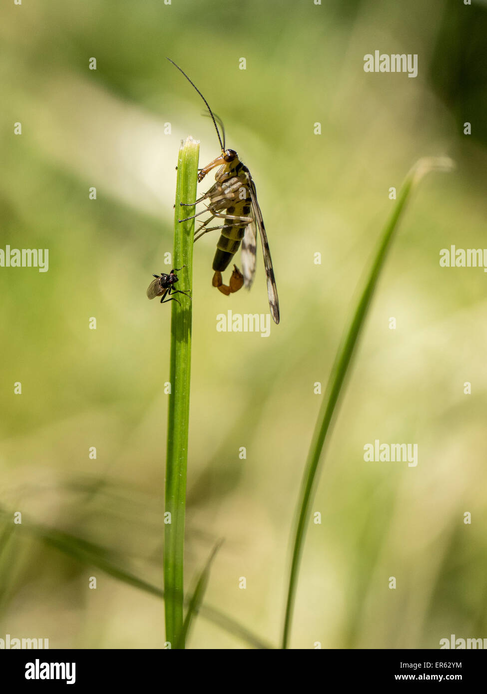 Common Scorpionfly (Panorpa communis), male, Saxony-Anhalt, Germany Stock Photo