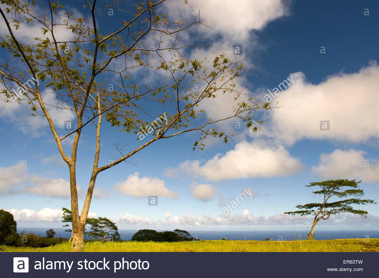 Acacias nearby Akaka waterfall at Akaka Falls State Park. Big Island. Hawaii. - Stock Image
