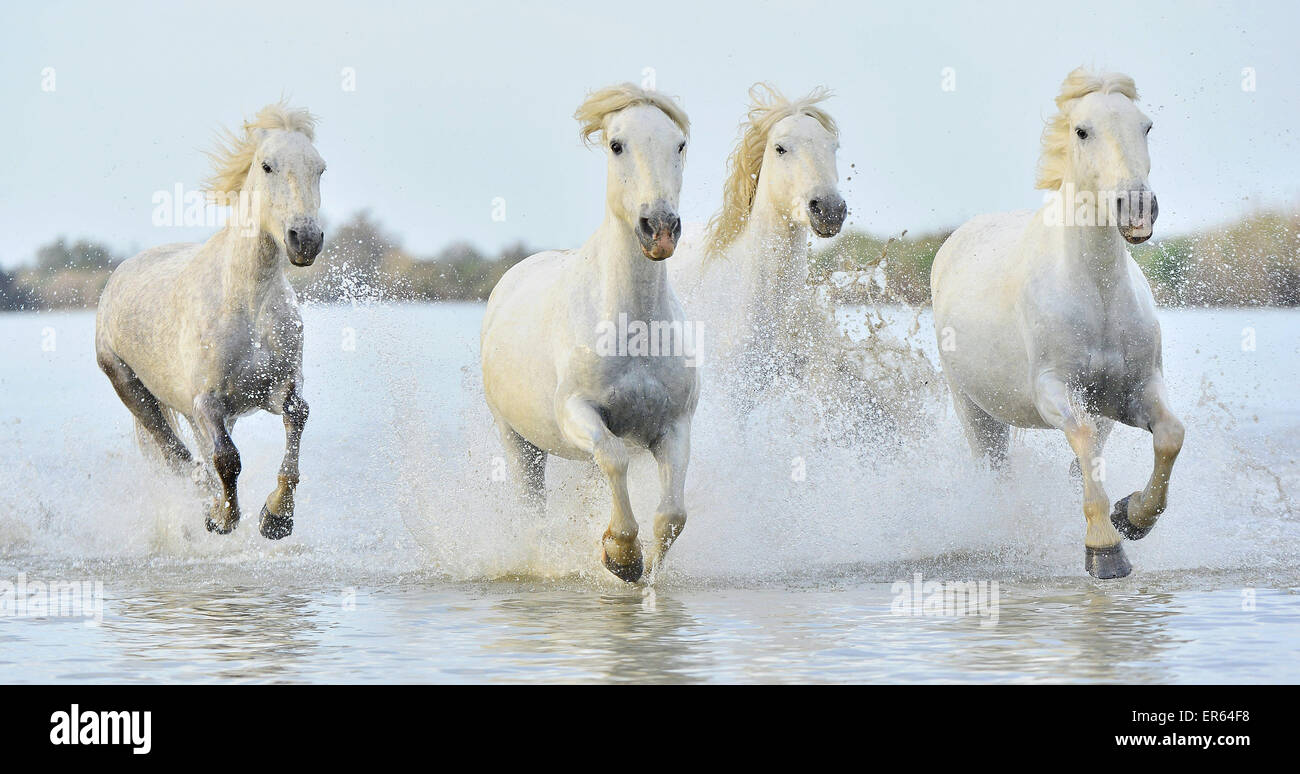 Wild Horses Running For Water Stock Photos Wild Horses Running For