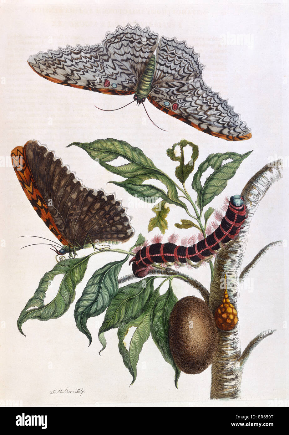 Butterfly illustration by Maria Sibylla Merian (1647-1717), German-born naturalist and scientific illustrator, engraved Stock Photo