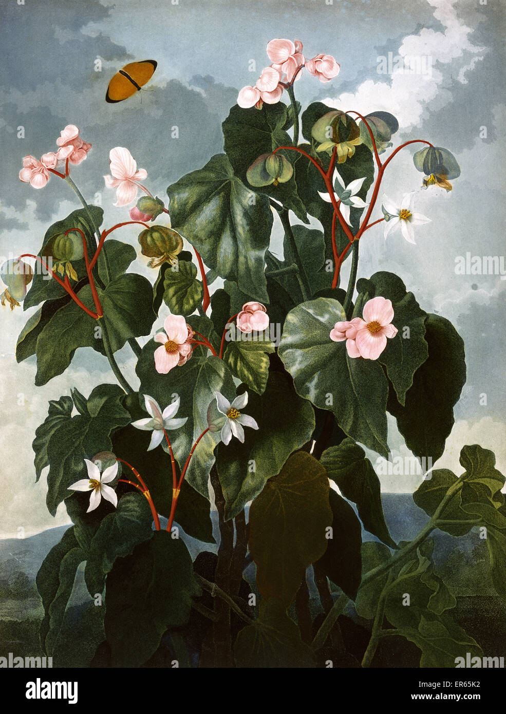 The oblique-leaved Begonia, engraved by Caldwall after Philip Reinagle, in a book entitled The Temple of Flora by - Stock Image