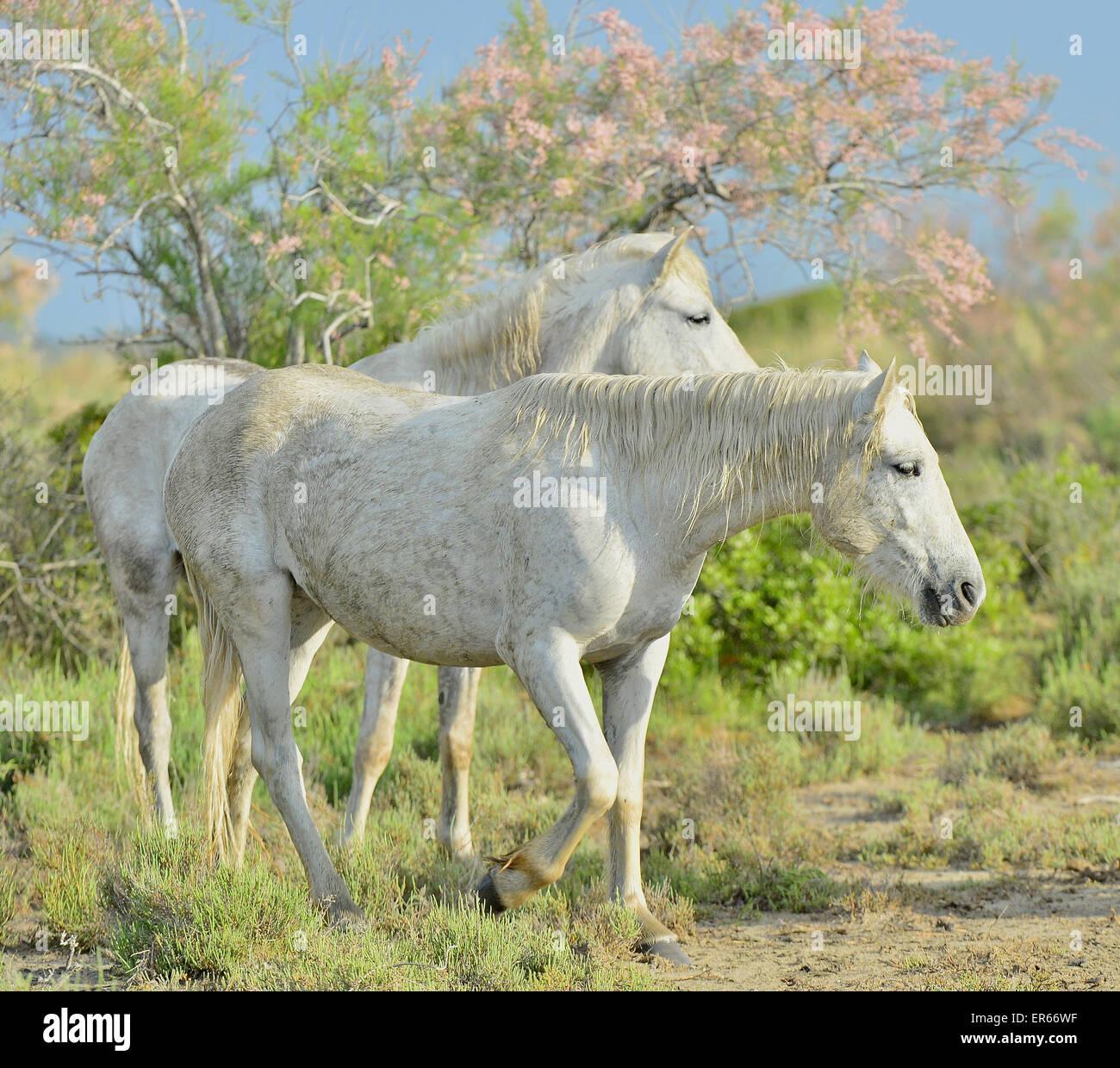 Portrait of the White Camargue Horses in Parc Regional de Camargue - Provence, France - Stock Image