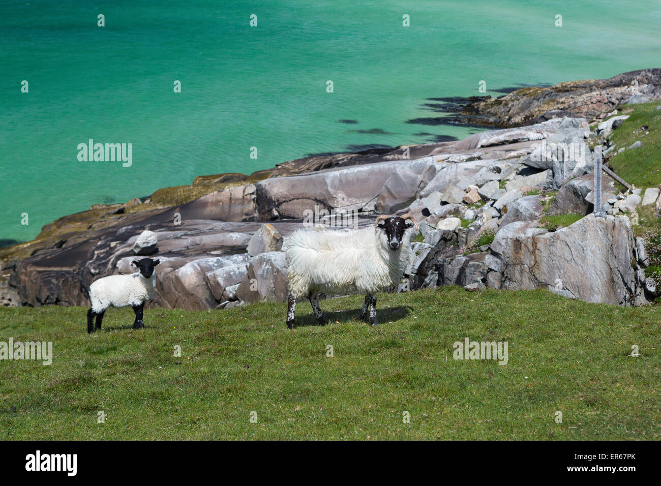 Scottish sheep as found on the Isle of Lewis and Harris, Outer Hebrides, Scotland - Stock Image