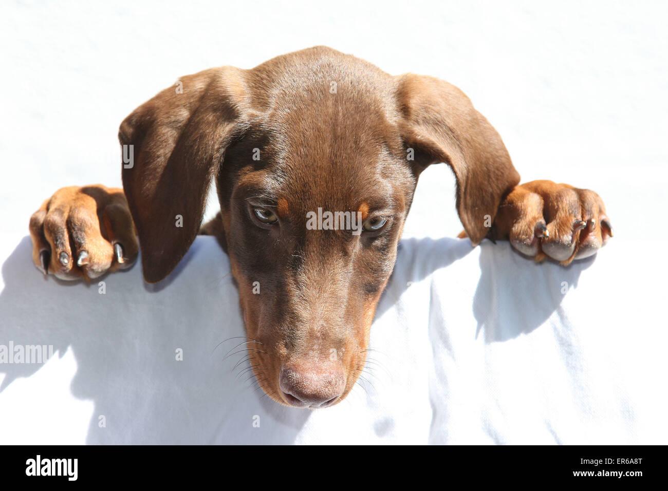 Doberman puppy - Stock Image