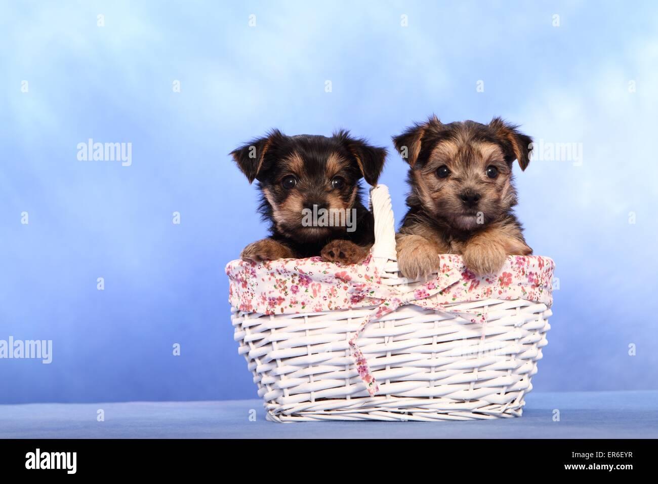 mongrel puppies Stock Photo