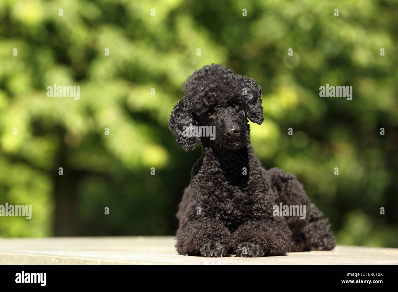 lying Miniature Poodle - Stock Image