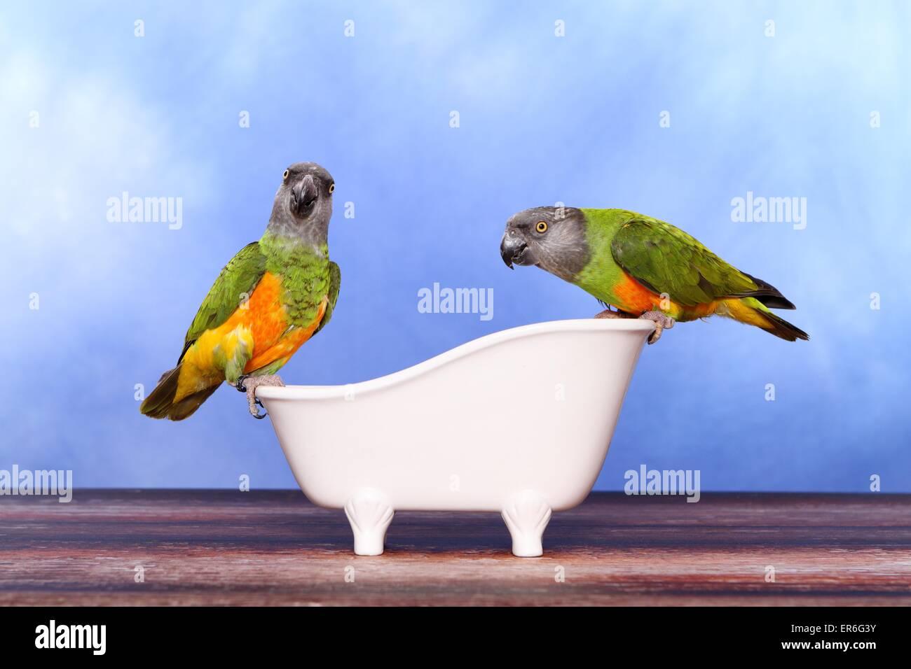 Senegal parrots - Stock Image