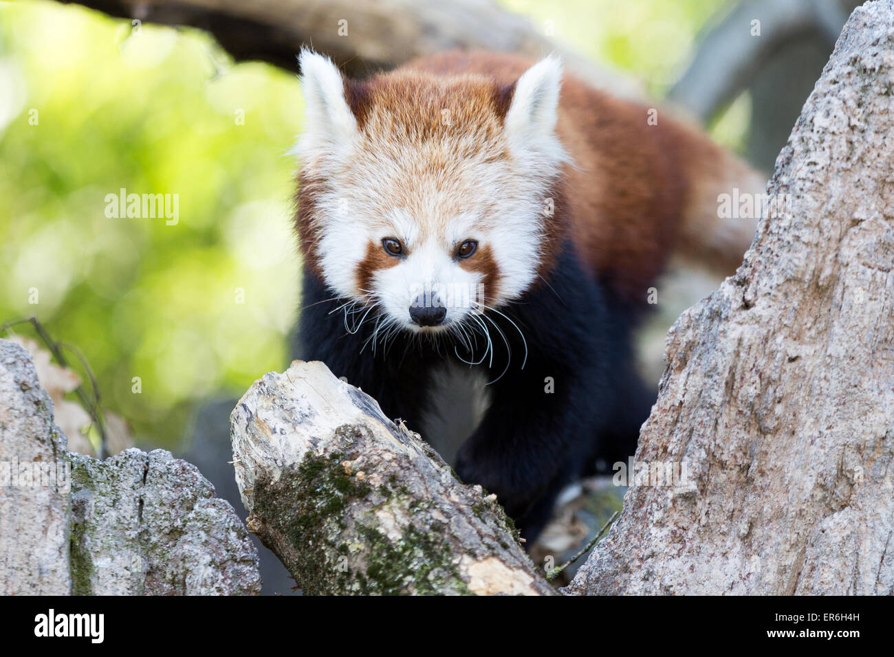 Cumiana, Italy. 27th May, 2015. A red panda puppy at Zoom Torino. There are two red panda male puppies of Yangon - Stock Image